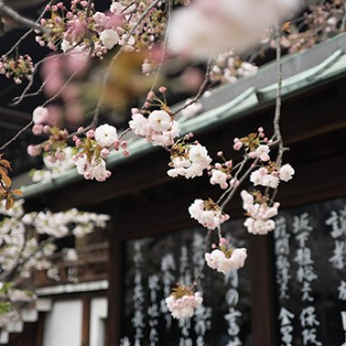 Cherry blossoms hanging from a tree in Japan.